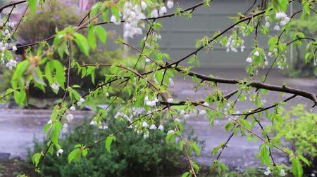 femenine : hard rain on bunch of white cherry blossoms in early spring