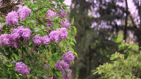 rhododendron : rhododendron bush in the rain Stock Footage