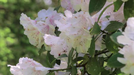 rhododendron : white rhododendron bushes in bloom Stock Footage