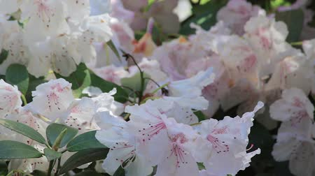 floriculture : white rhododendron bushes in bloom with pink centers Stock Footage