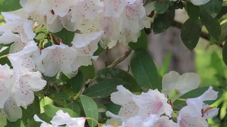 rhododendron : bees in white floral blooms