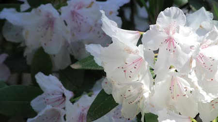 rhododendron : bees diving into white bloosoms