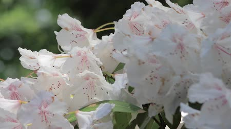 yabanarısı : panning up through white rhododendron with bees Stok Video
