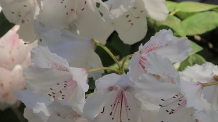 temperada : panning down on close up of white blooming bush Stock Footage