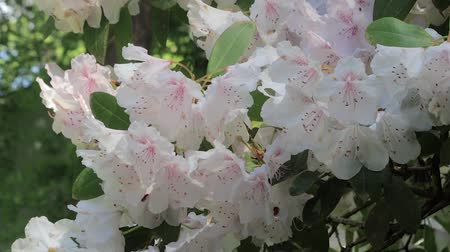 perene : white rhododendron bush with bees and sprinkler in background