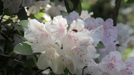 yabanarısı : zooming in on bee in white rhododendron bloom