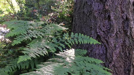 kapradina : fern and tree trunks in washington state forest
