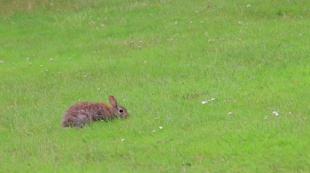 roedor : spring rabbit in lawn