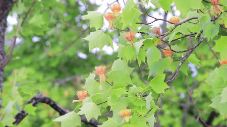 estame : panning up tulip tree