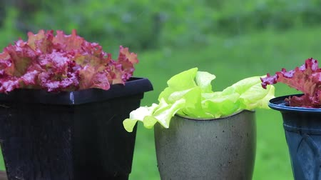 горшках : lettuce plants in pots in the rain