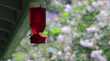 feeder : hummingbird hovers near feeder