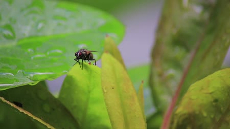 leaf bugs : fly landed on wet leaves Stock Footage
