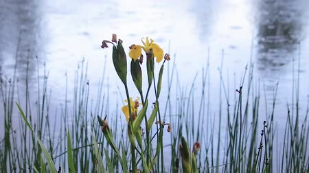 lilyum : slow pan on yellow iris