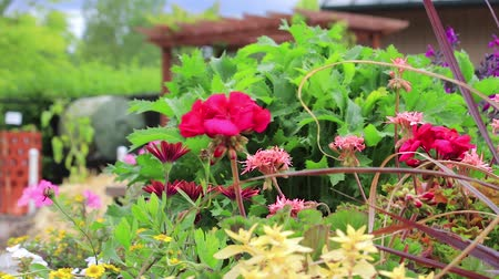 герань : pan left across geraniums in park