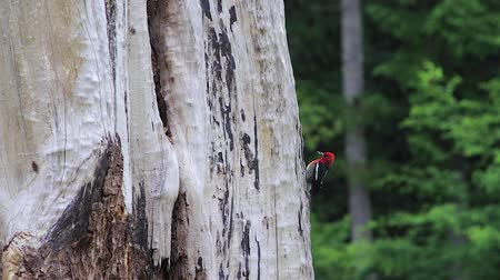 guardian : woodpecker standing on the side of a tree Stock Footage