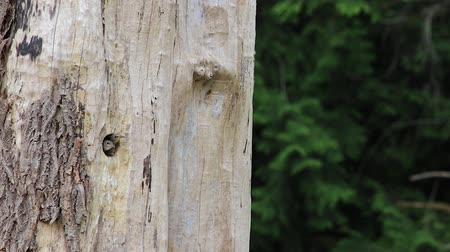 csaj : baby woodpecker releives itself out the entrance of the nest.
