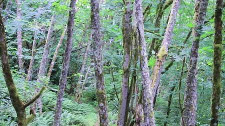 temperada : slim trunks of maples in forest in pacific northwest