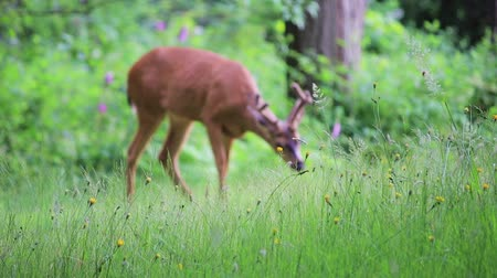 agancs : deer eating grass in forest