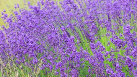 faíscas : pan following bee on lavender