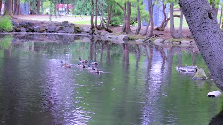 mallard : park with ducks and pond