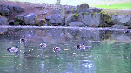 parte : lots of mallards on pond Stock Footage