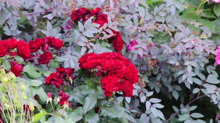 spring breeze : red roses on a bush