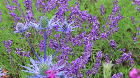 kokulu : large blue seaholly and lavender Stok Video