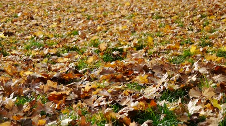 purple veins : leaves fall in November No.01 Stock Footage