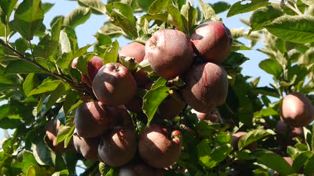 pomar : picking red apple from a tree in summer