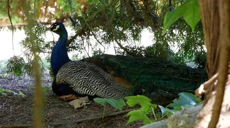шлейф : Man peacock in the shade under a tree.