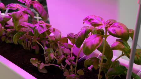 hydroponic : Growing plants in artificial LED lighting. Organic hydroponic vegetable garden.