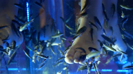 garra : Pedicure fish spa. Rufa garra fish spa treatment. Stock Footage