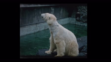 captive : People throw food to Polar bears at the zoo Stock Footage