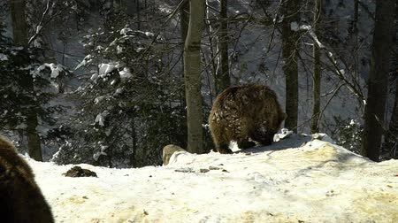 egemen : Brown bears in the winter forest. Two bears eat in the snow. Stok Video