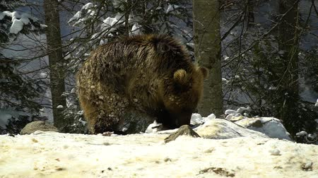 etobur hayvan : Brown bears in the winter forest. One little bear cub eats in the snow. Stok Video
