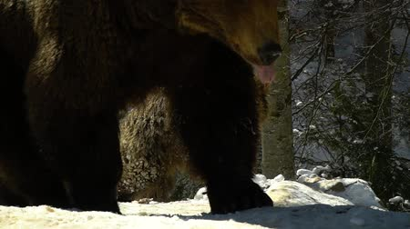 savage : Brown bears in the winter forest. Two bears eat in the snow. Slow motion. Stock Footage