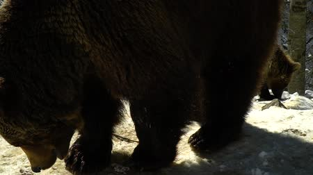egemen : Brown bears in the winter forest. Two bears eat in the snow. Slow motion. Stok Video