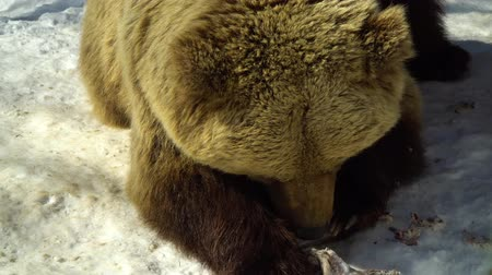 fish eye : Brown bears in the winter forest. One bear eats in the snow. Stock Footage