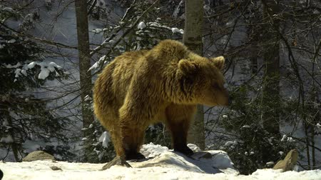 fish eye : Brown bears in the winter forest. Three bears eat in the snow.