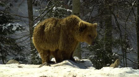 egemen : Brown bears in the winter forest. A big bear strolls through white snow.