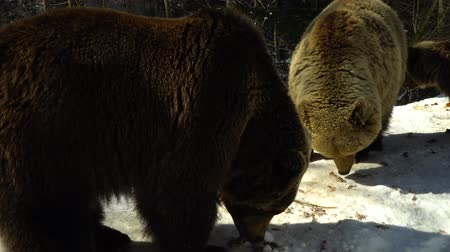 savage : Brown bears in the winter forest. Three bears eat in the snow.