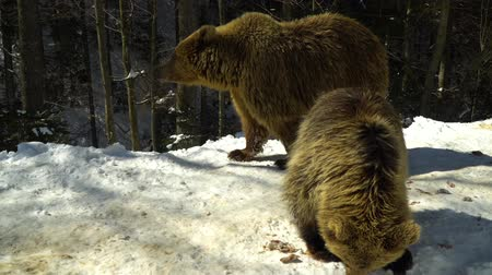 egemen : Brown bears in the winter forest. Two bears eat in the snow. Mom and her cub.
