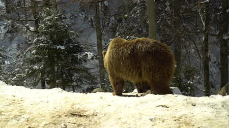 egemen : Brown bears in the winter forest. Three bears eat in the snow.