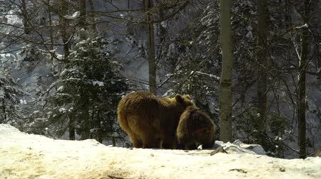 vzácný : Brown bears in the winter forest. Two bears eat in the snow. Mom and her cub.