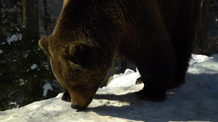 egemen : Brown bears in the winter forest. One bear eats in the snow. Stok Video
