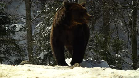 savage : Brown bears in the winter forest. One bear eats in the snow. Stock Footage