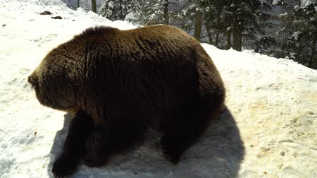egemen : Brown bears in the winter forest. A big bear lies on the snow. The bear sniffs the snow.