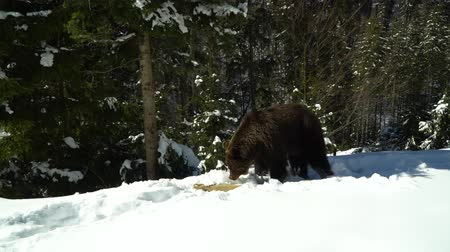 savage : Brown bears in the winter forest. A big bear strolls through white snow.