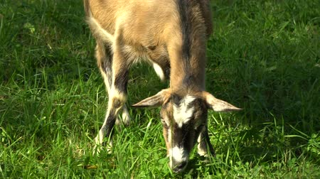 cow eats : Goat in the meadow. Goat eats grass on a green meadow.