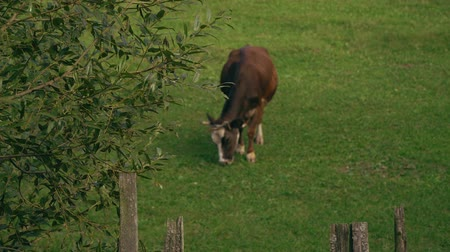 cow eats : The cow in the meadow. A big brown cow eats grass on a green meadow.